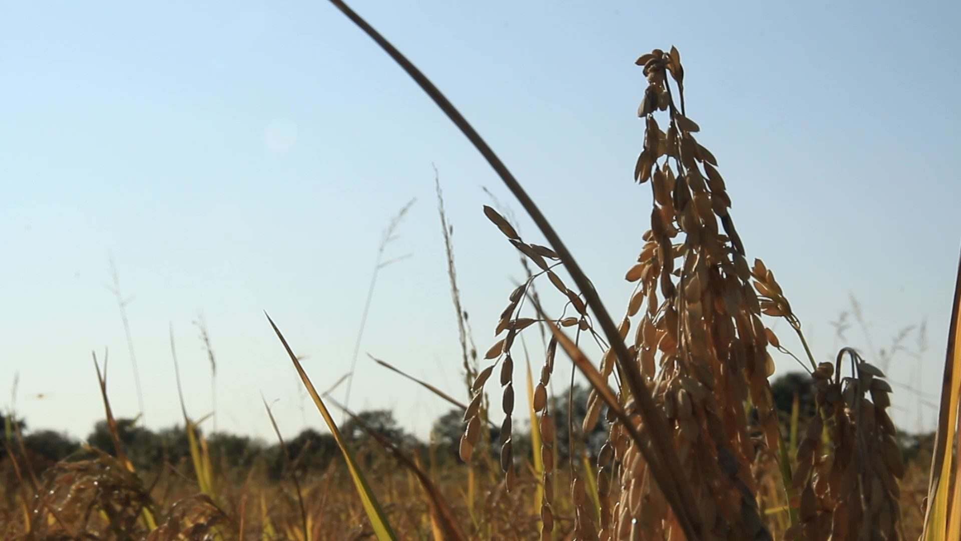 L'isolation en paille de riz de Camargue version FBT isolation